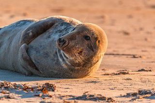 "Seals are just as intelligent as dogs and wolves, and they do have the capacity to establish bonds with other animals, including humans. They can show affection and loyalty. However, they are still wild animals, and you should never approach them. There are many seals in ""seal banks"" located in the Wadden Sea off the coast of Texel in The Netherlands."